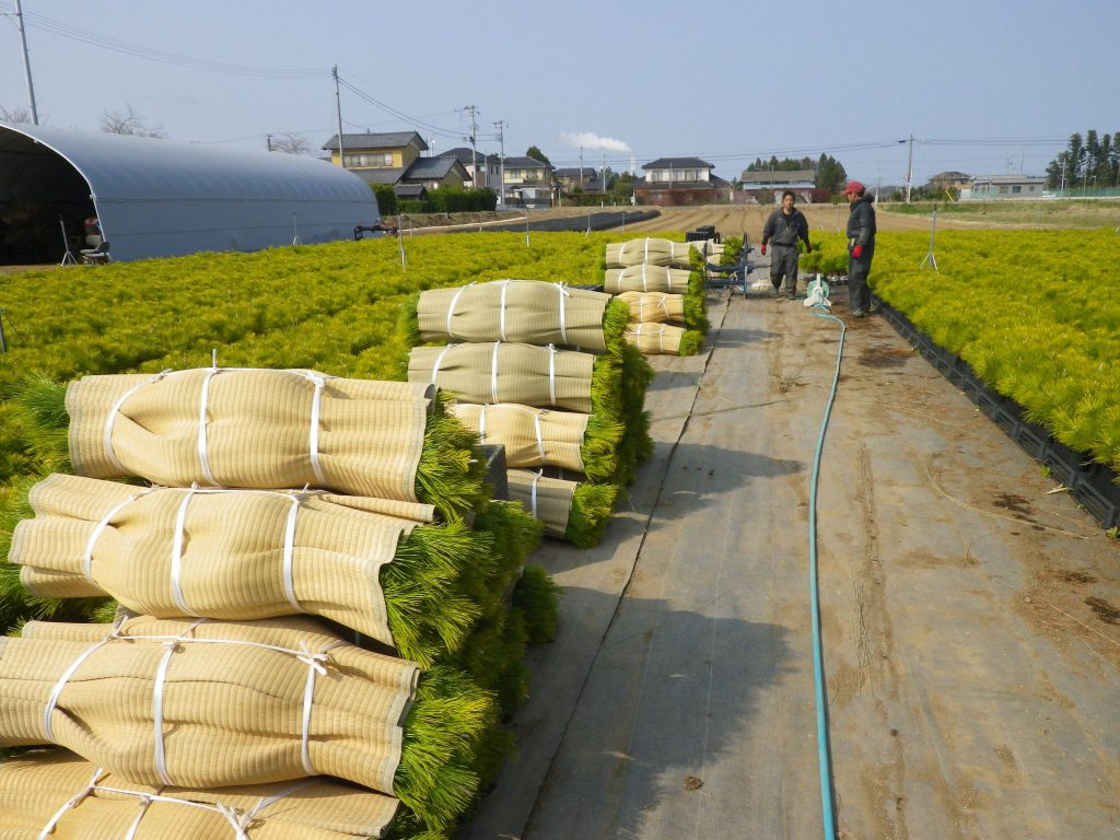 海岸防災林復旧事業へ出荷されるコンテナ苗