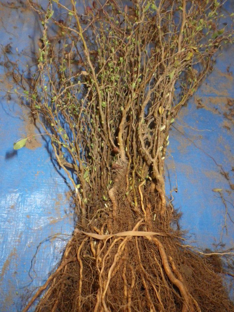 ユキヤナギの苗木