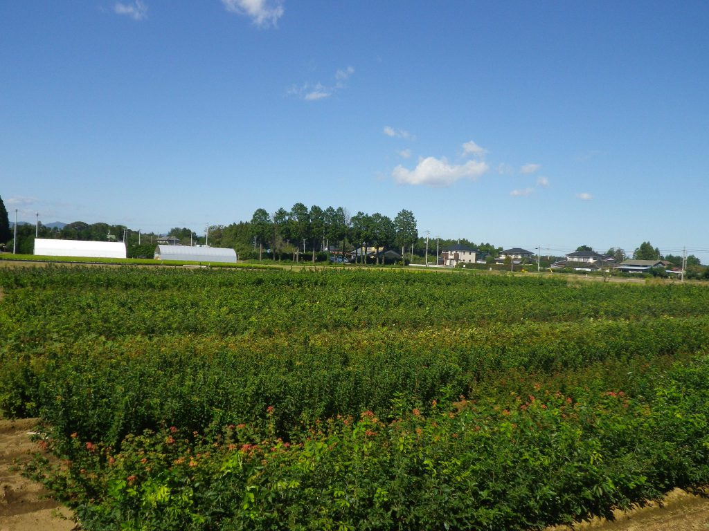 秋晴れの苗木圃場