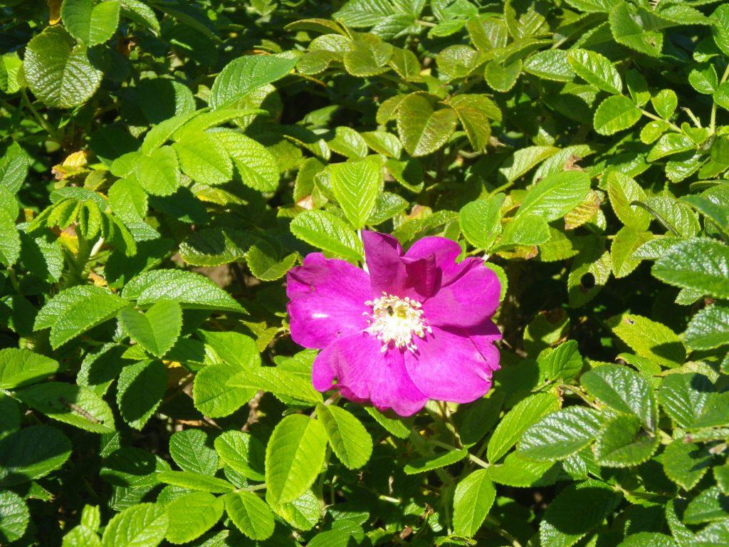 海岸防災林に役立つ「ハマナス」の苗